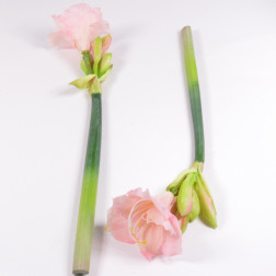 Amaryllis Niova 56 cm, verschiedene Farben