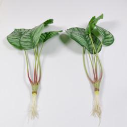 Calatheablatt, 40 cm
