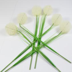 Allium Tanami, creme