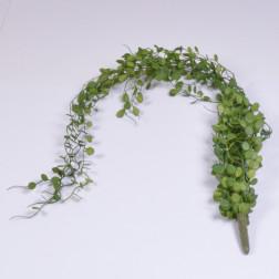 Dischidia haengend, 80 cm, grün