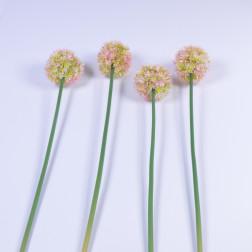 Allium Montreal, 60 cm, pink